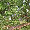 Juniperus Ashei 369