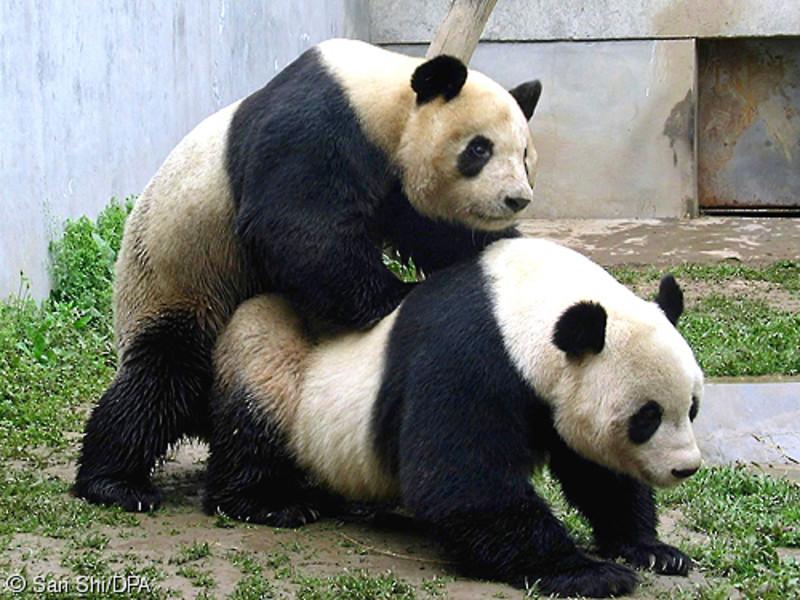 фото панда порно